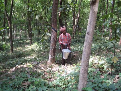 Life And Livelihood Among Latex Rubber Trees Savvy Rest