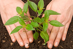 Planting a small tree in soil