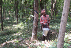 Collecting latex sap from the rubber tree.