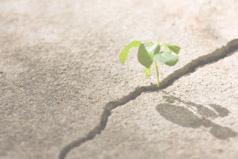 Clover sprouting through sidewalk cracks