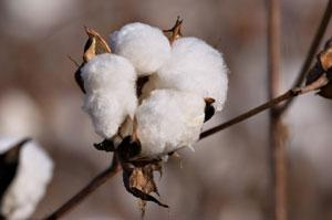 Organic cotton does not use pesticides