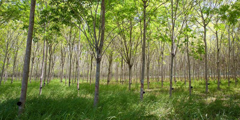 Organic rubber trees are tapped for natural latex