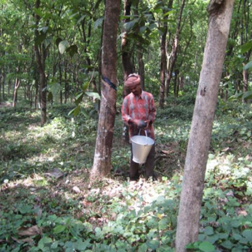 Worker collecting sap from the rubber tree