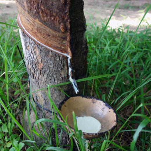 Sap dripping from the rubber tree