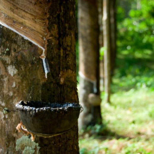 Rubber tree sap collection