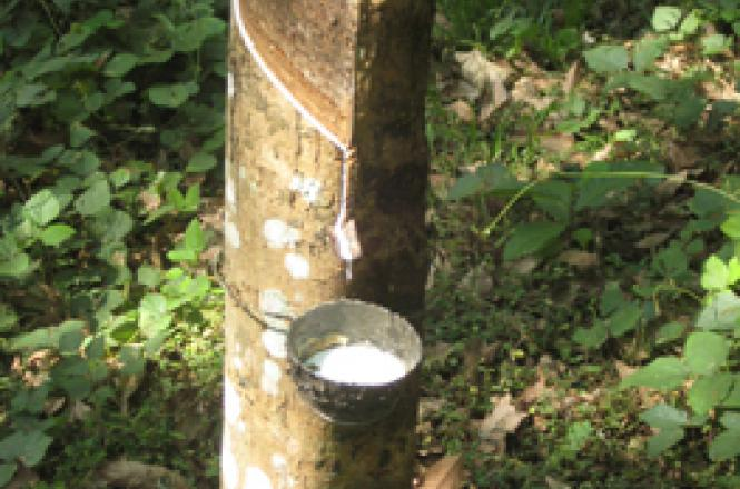 Collecting latex sap from the rubber tree